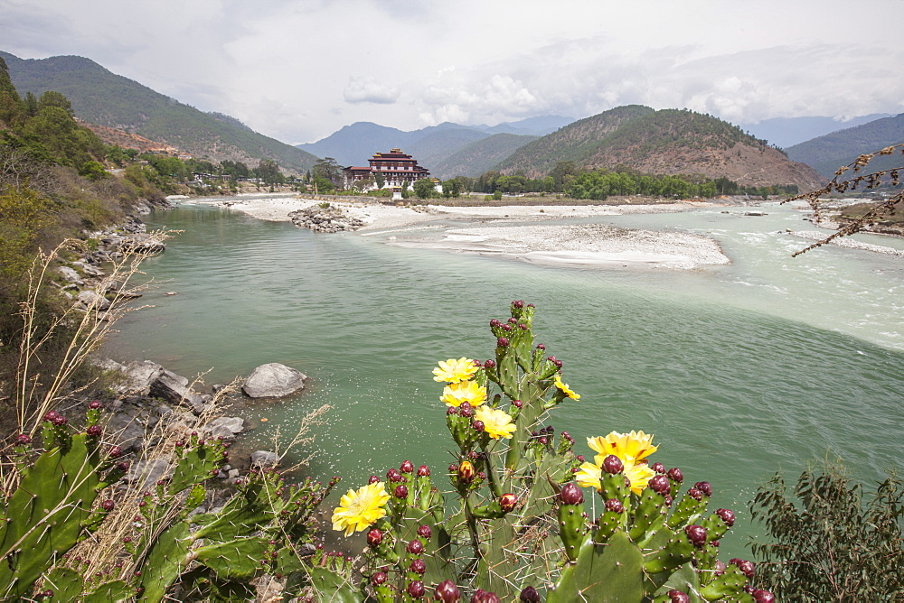 Yellow flowers bloom on the banks of the River Pho Chhu which crosses the city of Punakha. Bhutan, Asia