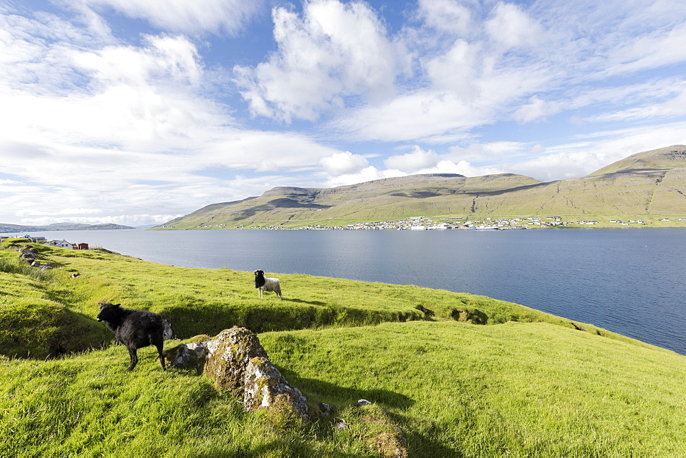 Sheep on green meadows, Skipanes, Eysturoy Island, Faroe Islands, Denmark, Europe