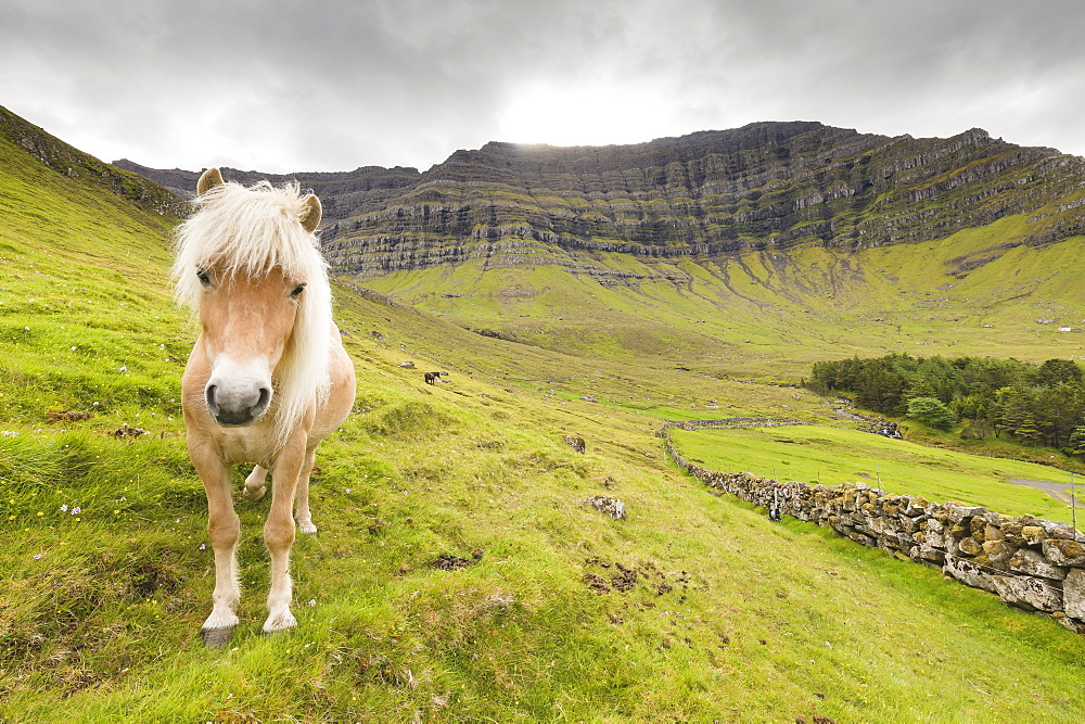 Horse in green meadows, Kunoy Island, Nordoyar, Faroe Islands, Denmark, Europe