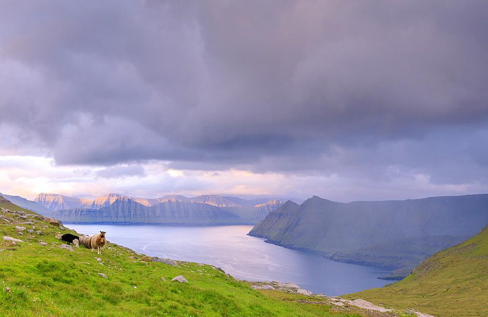 Sheep, Funningur fjord, Eysturoy Island, Faroe Islands, Denmark, Europe