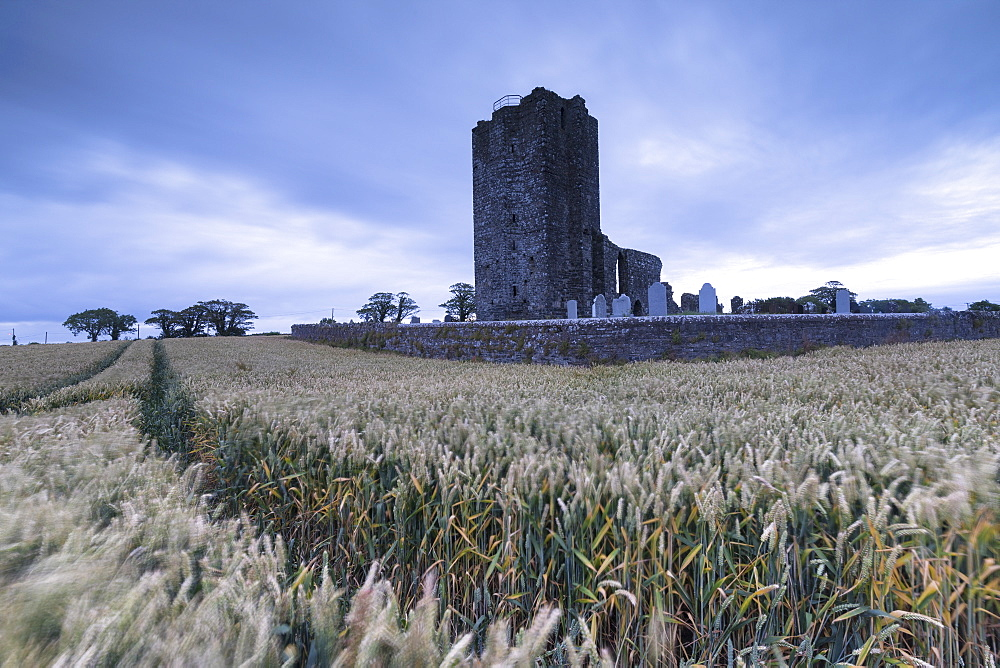 Fields of wheat ears around Baldongan Castle and Church, Skerries, County Dublin, Ireland
