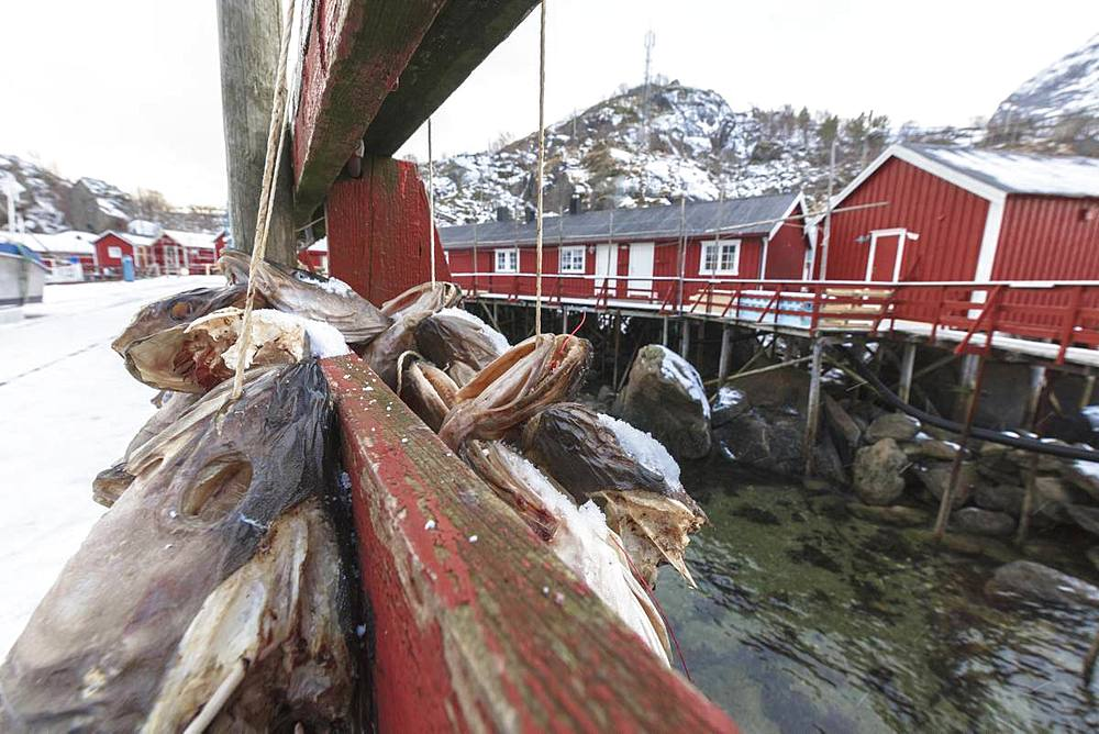 Hanging stockfish to dry out, Nusfjord, Lofoten Islands, Nordland, Norway, Europe