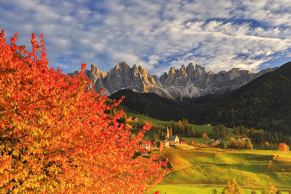 Red cherry trees in autumn color the country road around St. Magdalena village, in the background the Odle Mountains, Val di Funes, South Tyrol, Italy, Europe