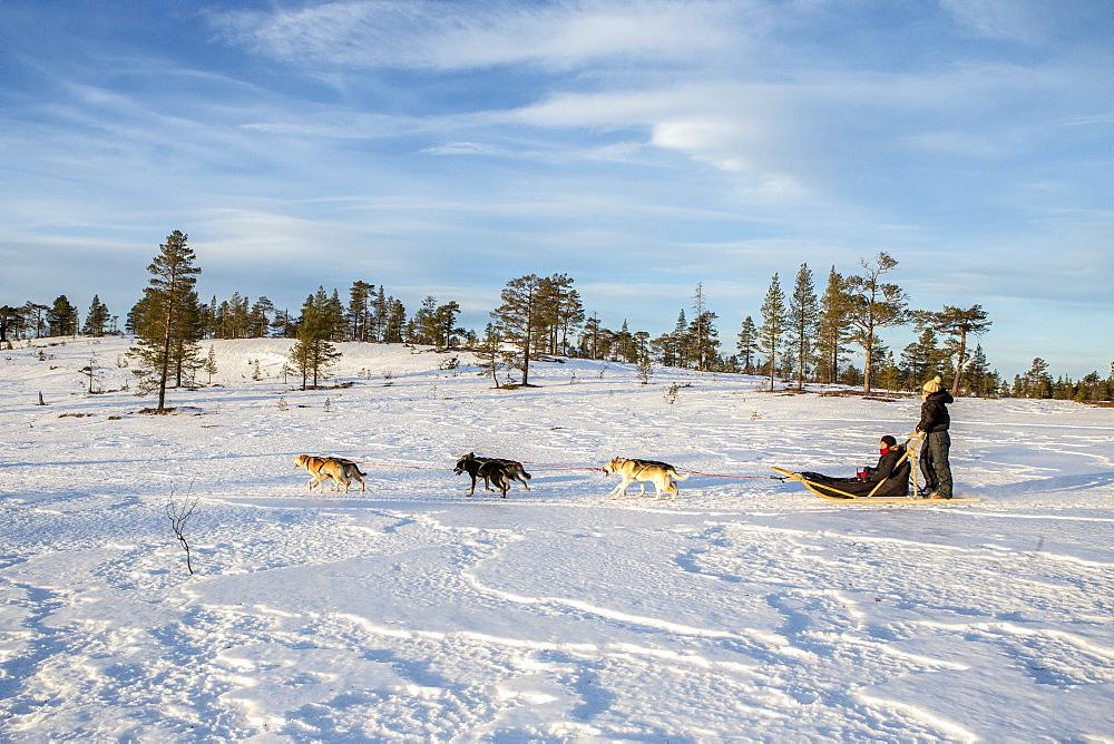 Dogsledding in the snowy landscape, Trondelag, Norway, Scandinavia, Europe