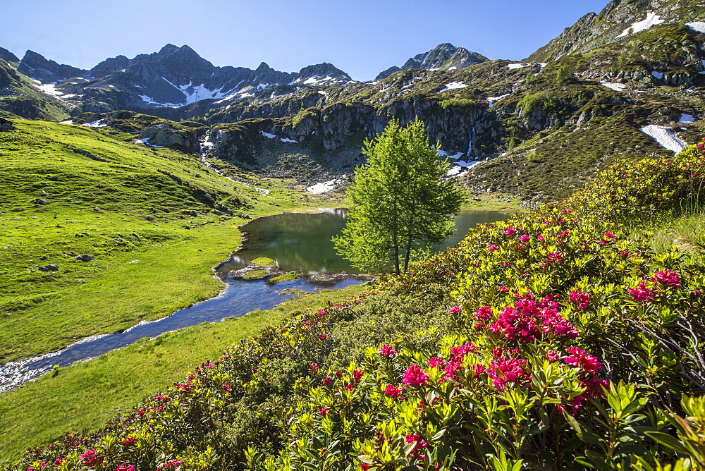 Rhododendrons and Lake Porcile, Tartano Valley, Orobie Alps, Lombardy, Italy, Europe