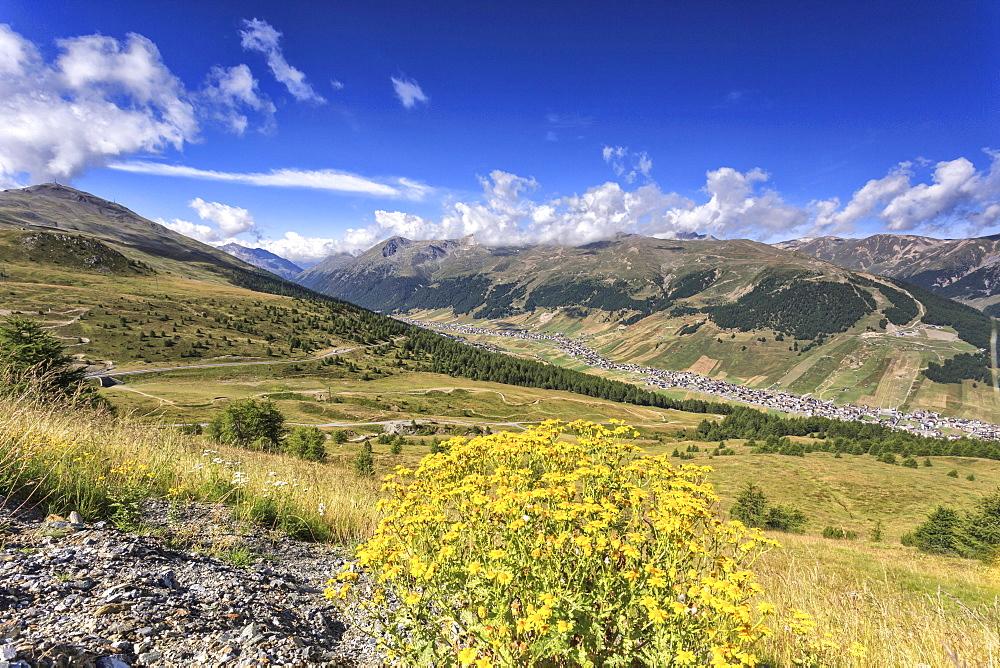 Summer flowers, Minor Valley, High Valtellina, Livigno, Lombardy, Italy, Europe