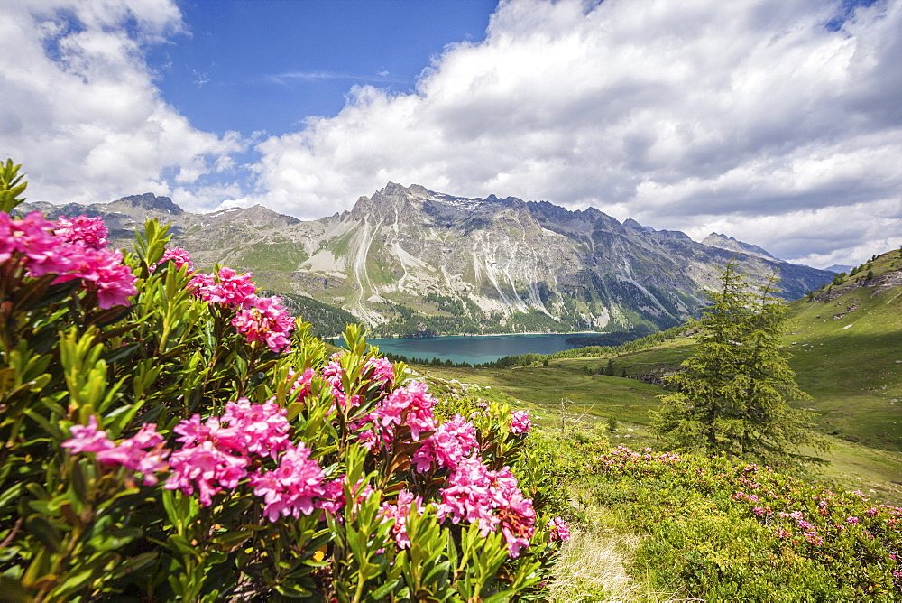 Flowering rhododendrons and in the background the blue alpine lake, Fedoz Valley, Canton of Graubunden, Engadine, Switzerland, Europe