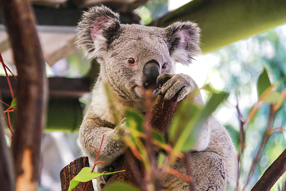 Beautiful and awake koala, Queensland, Australia, Pacific  - 1181-14