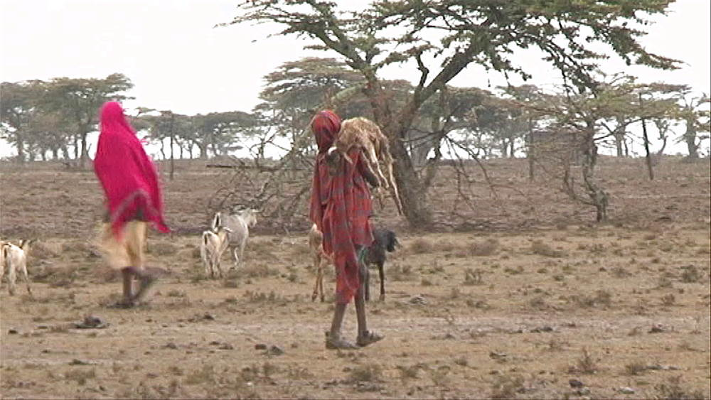 Young boy carrying a sick baby goat, traditional Kenyan goat herders, shepherds walking with their goats in a heat wave, dry bush, drought, Kenya, Africa - 1182-137
