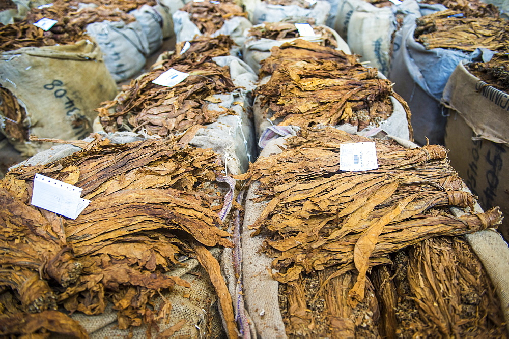 Piles of dry tobacco, Tobacco auction in Lilongwe, Malawi, Africa