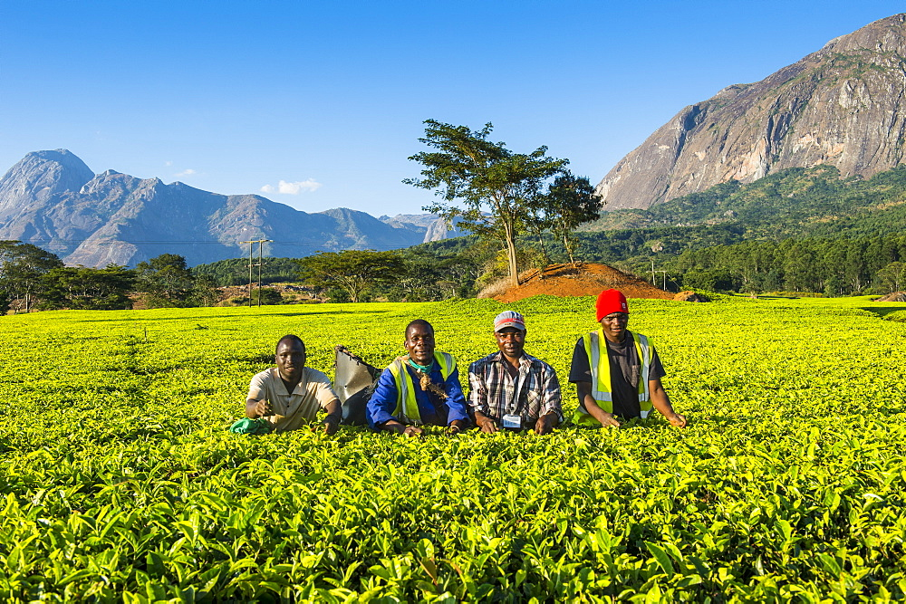 Tea pickers on a tea estate on Mount Mulanje, Malawi, Africa