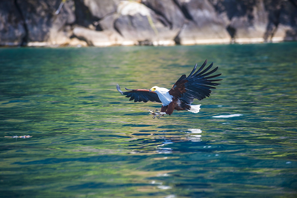 African fish eagle (Haliaeetus vocifer) hunting fish, Nkhata Bay, Lake Malawi, Malawi, Africa