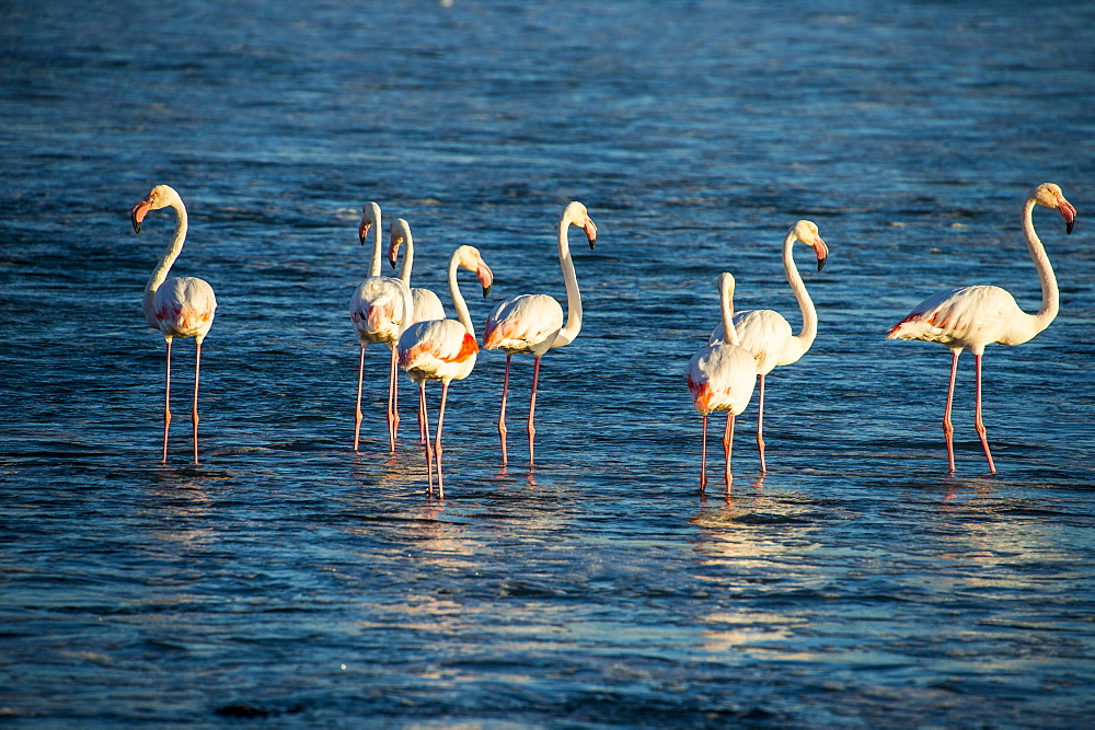 Flamingos playing in the water (Phoenicopteridae), Luederitz, Namibia