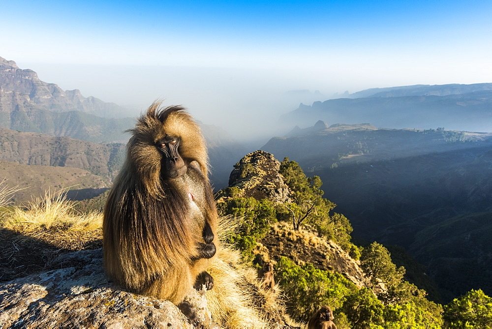 Male Gelada (Theropithecus gelada) sitting on a cliff, Simien Mountains National Park, UNESCO World Heritage Site, Ethiopia, Africa