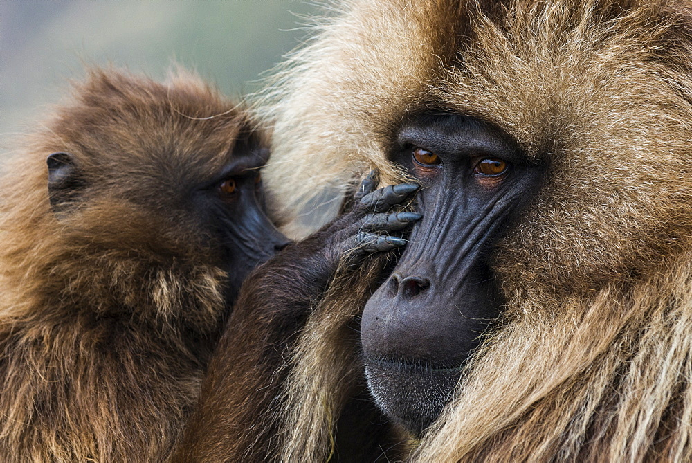 Geladas Monkeys - mother and baby monkey