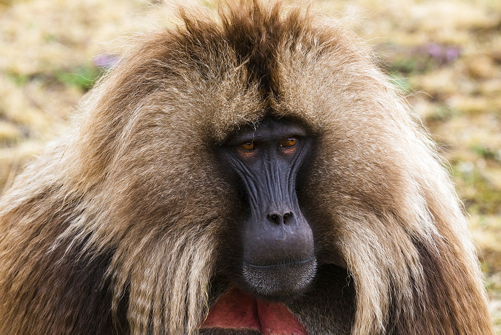 Male Gelada (Theropithecus gelada) in the Unesco world heritage sight Semien or Simien mountains national park, Ethiopia - 1184-1761