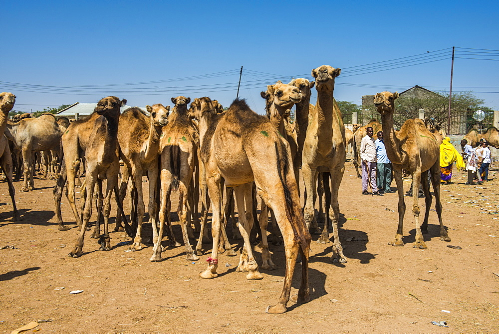 Camels at the Camel market, Hargeisa, Somaliland, Somalia, Africa