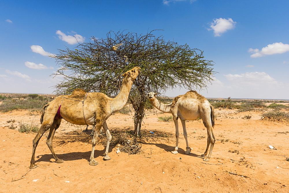 Camels eating an acacia bush, Somaliland, Somalia, Africa