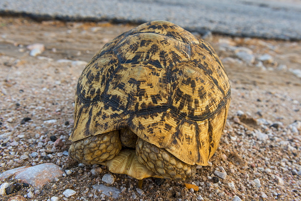African spurred tortoise (Centrochelys sulcata), Somaliland, Somalia, Africa