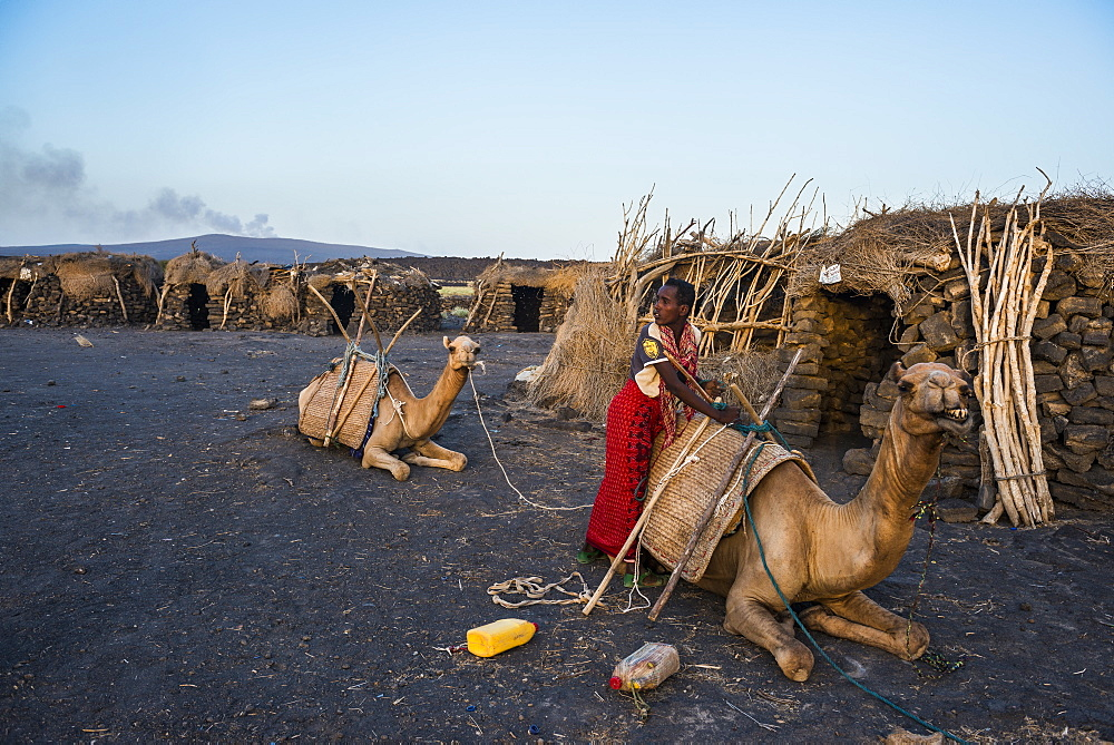 Afar man loading a camel in a camp on the foot of Erta Ale, Danakil depression, Ethiopia, Africa