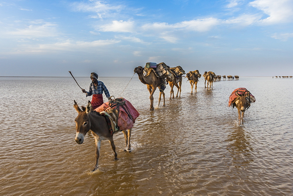 Camels loaded with pan of salt walking through a salt lake, Danakil depression, Ethiopia, Africa