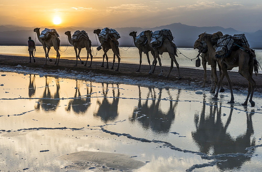 Camels loaded with pan of salt walking through a salt lake, Danakil depression, Ethiopia
