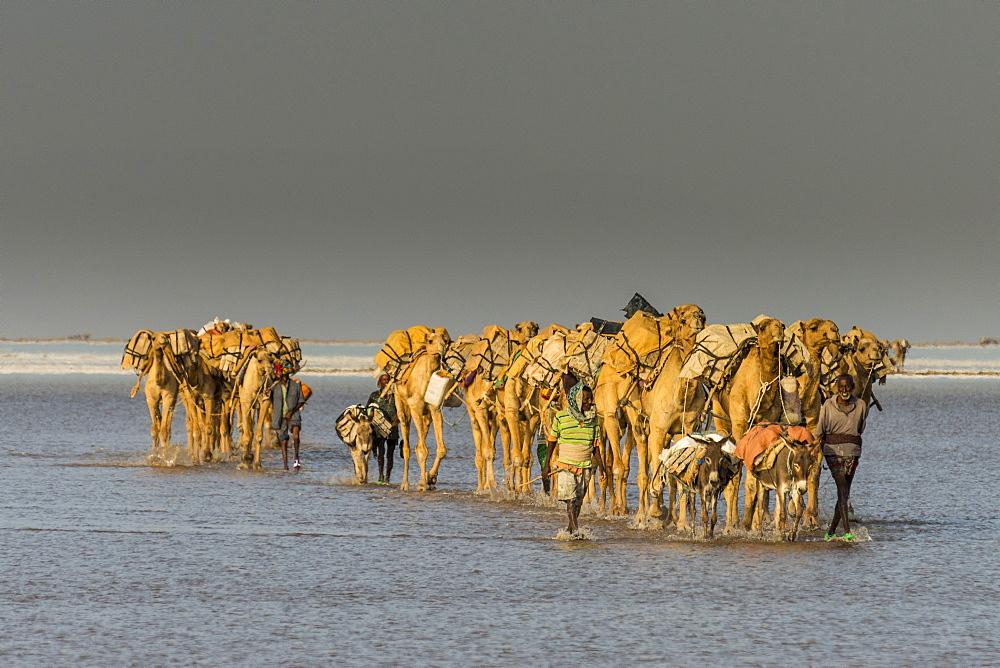 Camel carawan walking in the heat through a salt lake, Danakil depression, Ethiopia - 1184-1968