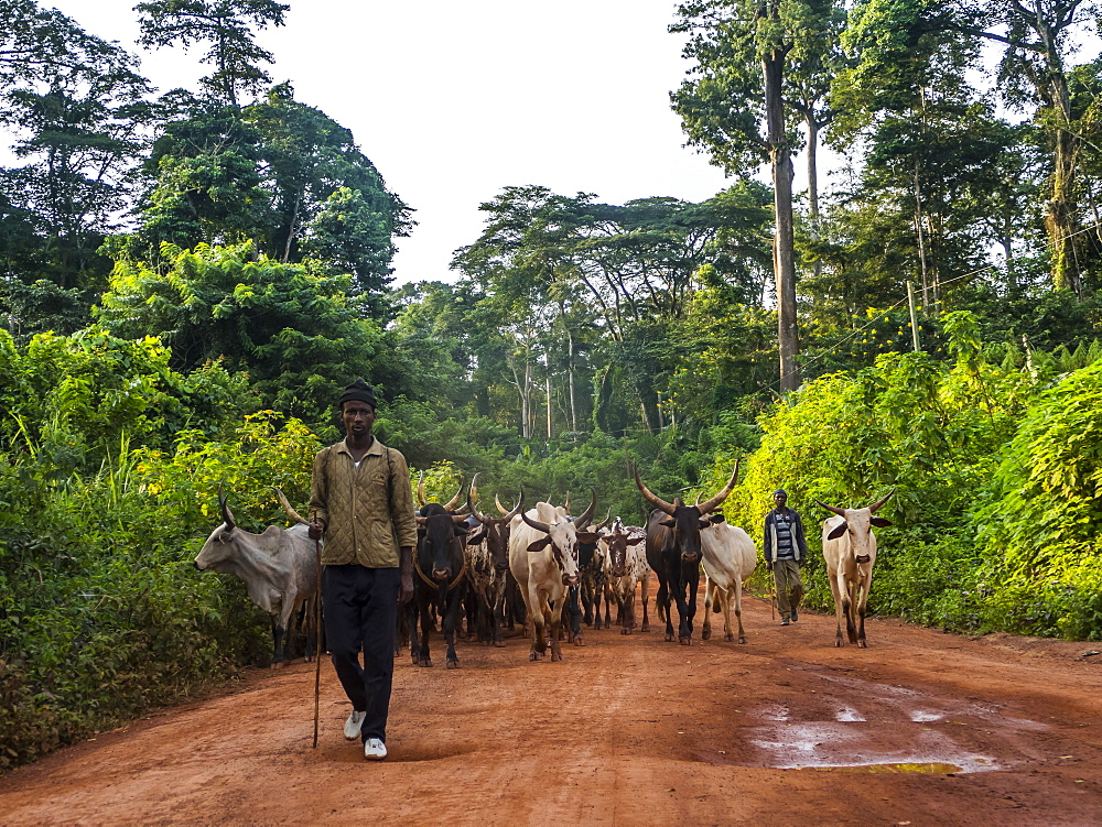 Local cow herd deep in the jungle, Cameroon, Africa