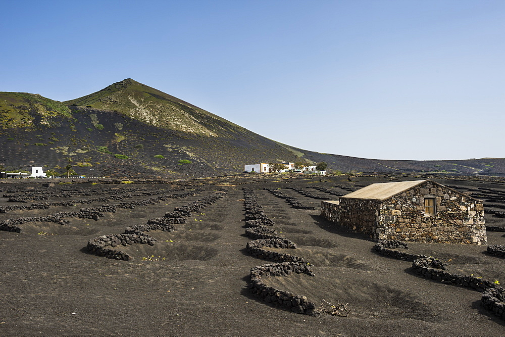 La Geria vineyards in the lava sands of Lanzarote, Canary Islands, Spain, Atlantic, Europe