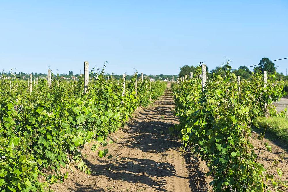 Vineyards in the Shabo winery, Black Sea, Ukraine, Europe