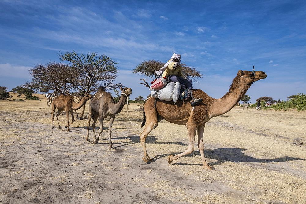 Camel Carawan between Faya-Largeaux and N´Djamena, Chad, Africa - 1184-3085