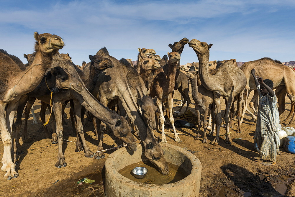 Camels at a water hole, Ennedi plateau, UNESCO World Heritage Site, Chad, Africa