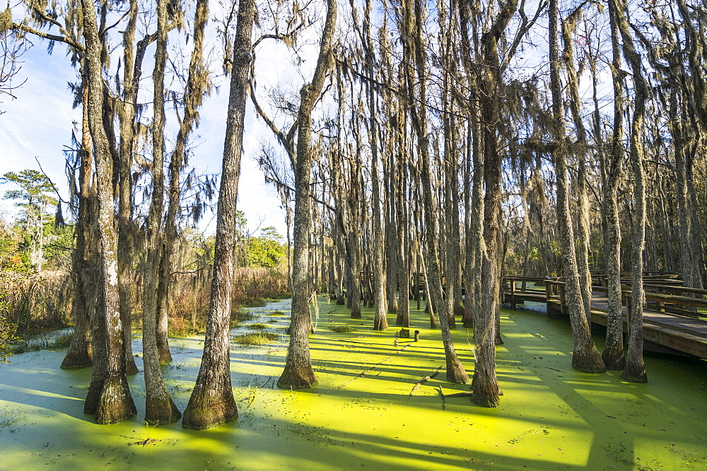 Dead trees in the swamps of the Magnolia Plantation outside Charleston, South Carolina, United States of America, North America