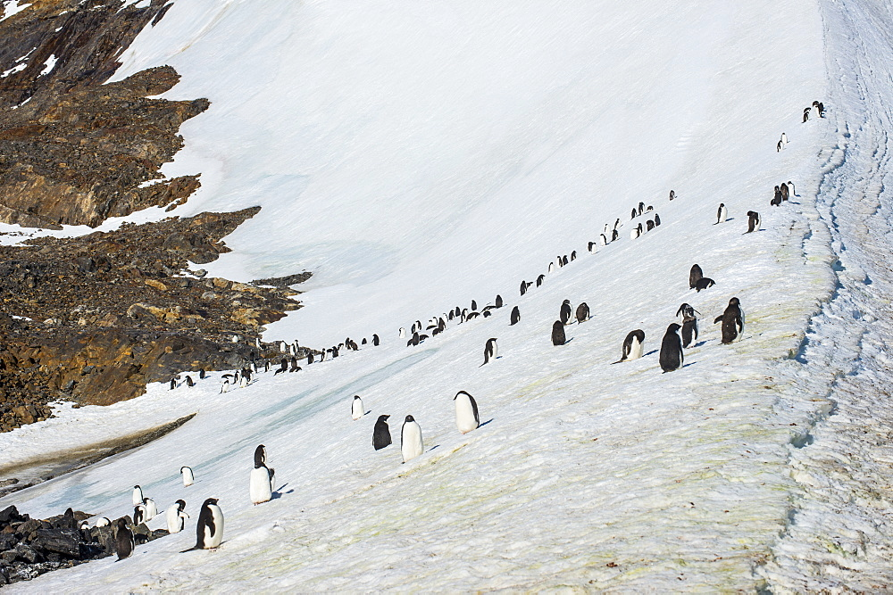 Penguins, Hope Bay, Antarctica, Polar Regions