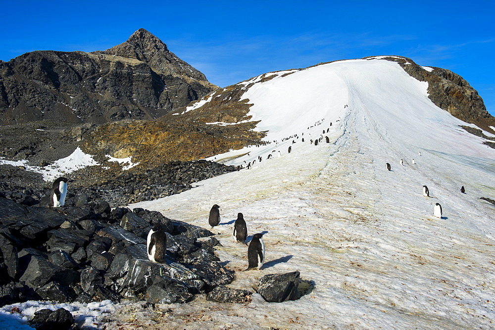 Adelie penguin (Pygoscelis adeliae) colony in Hope Bay, Antarctica, Polar Regions