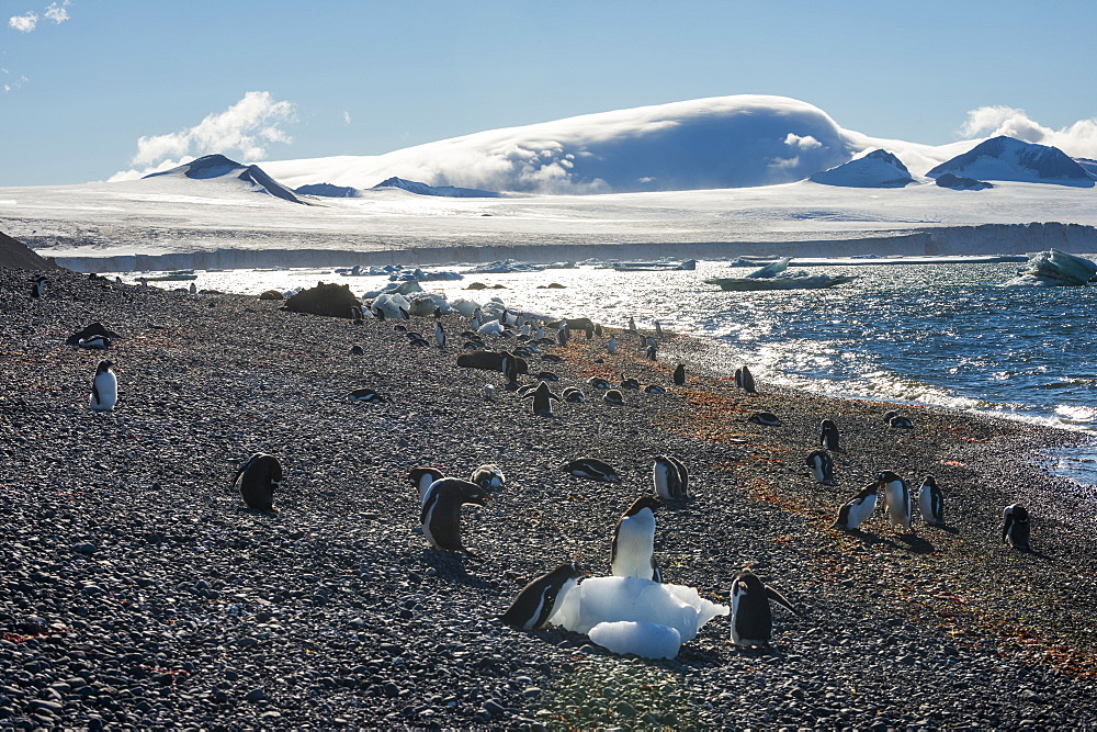 Adelie and gentoo penguins, Brown Bluff, Tabarin Peninsula, Antarctica, Polar Regions