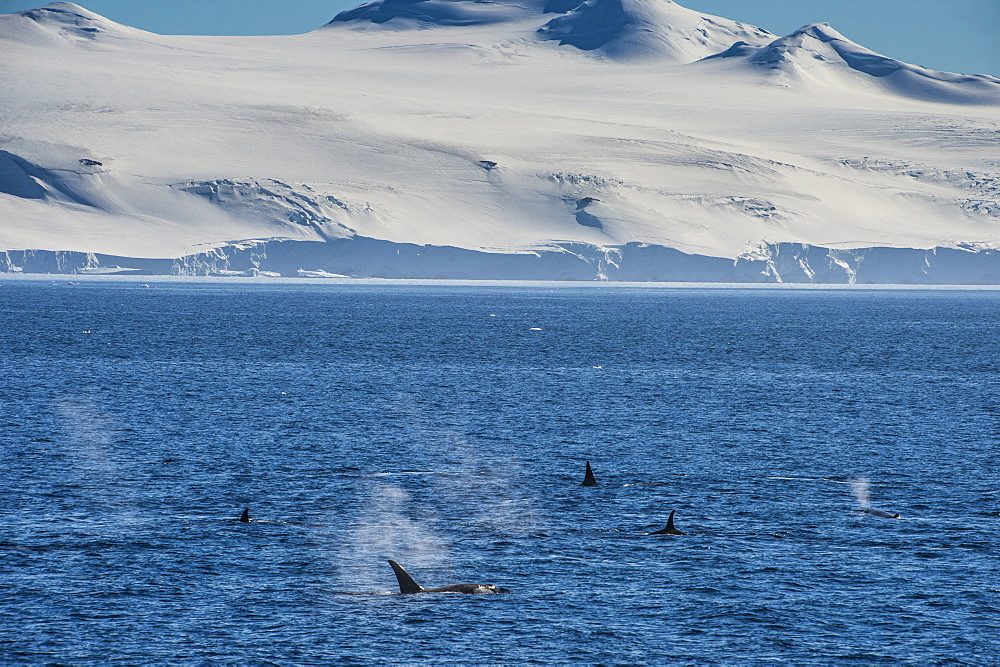 Killer whales (orcas) (Orcinus orca) hunting, Weddell, Sea, Antarctica, Polar Regions
