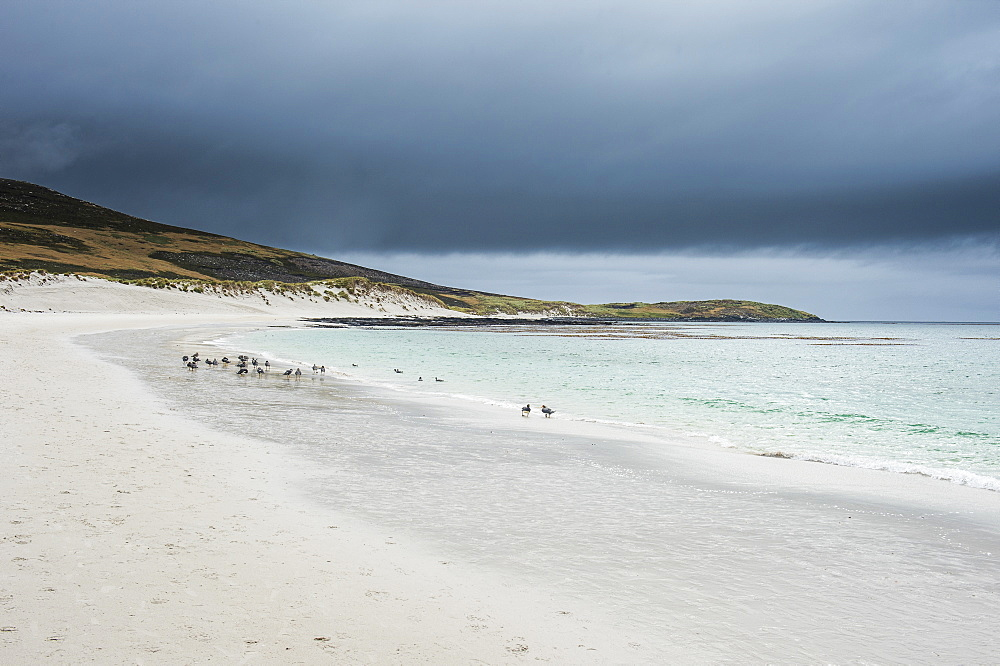 White sand beach, Carcass Island, West Falklands, Falkland Islands, South America