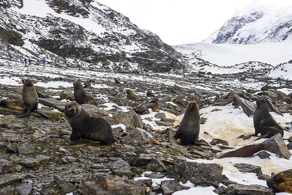 Antarctic fur seal (Arctocephalus gazella) colony, Coronation Island, South Orkney Islands, Antarctica, Polar Regions