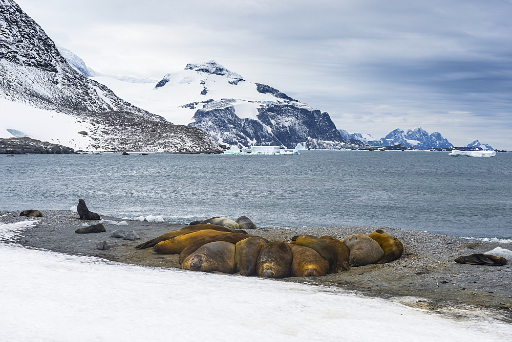 View over a southern elephant seal colony (Mirounga leonina), Coronation Island, South Orkney Islands, Antarctica, Polar Regions