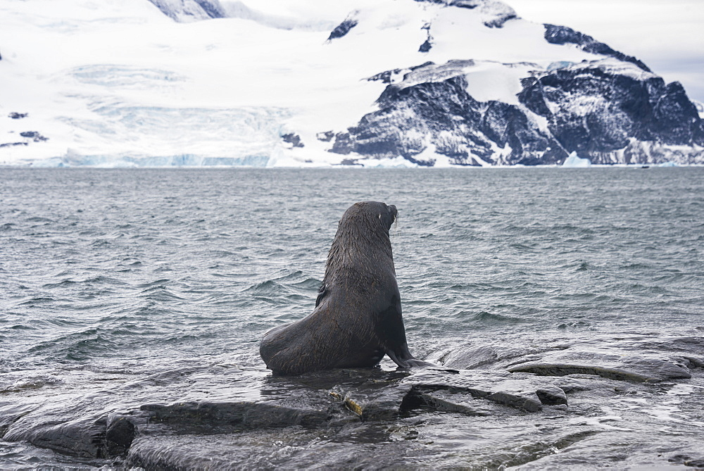 Antarctic fur seals (Arctocephalus gazella) colony, Coronation Island, South Orkney Islands, Antarctica, Polar Regions