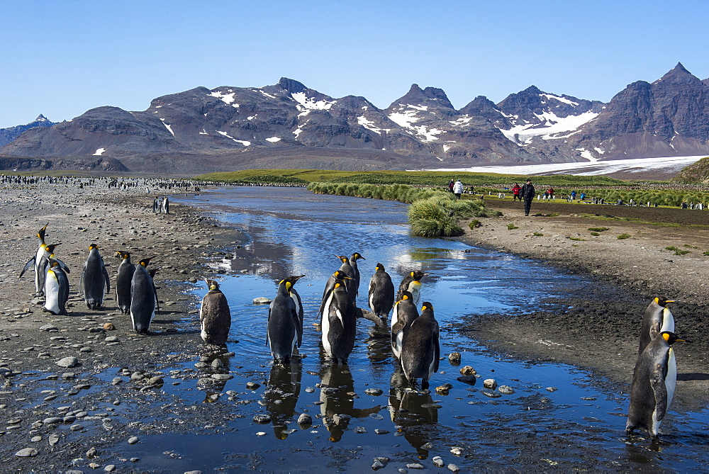 King penguins (Aptenodytes patagonicus), Salisbury Plain, South Georgia, Antarctica, Polar Regions