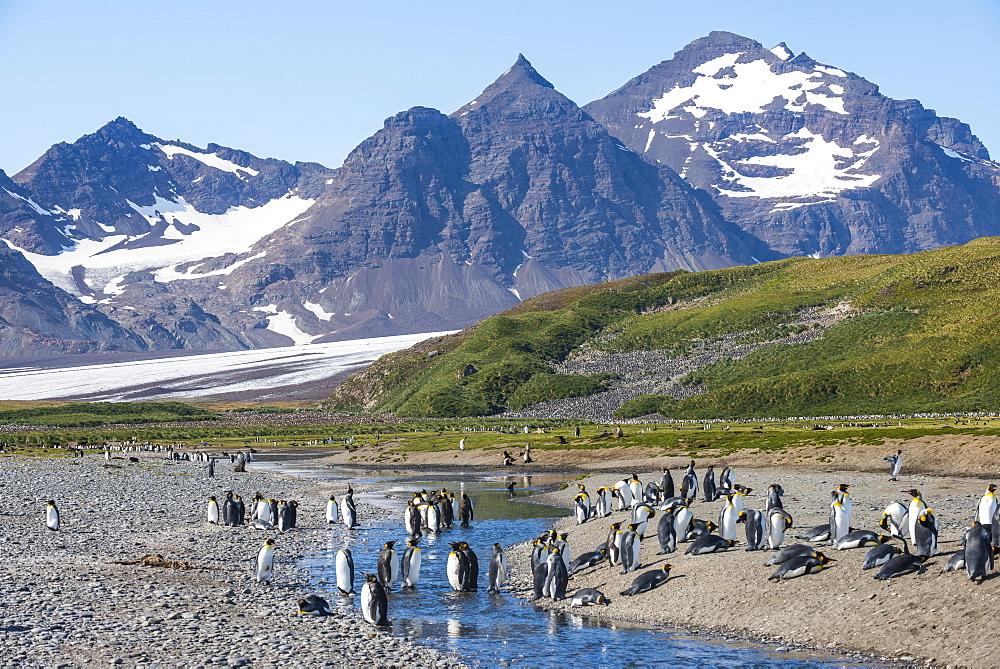 King penguins (Aptenodytes patagonicus) in beautiful scenery, Salisbury Plain, South Georgia, Antarctica