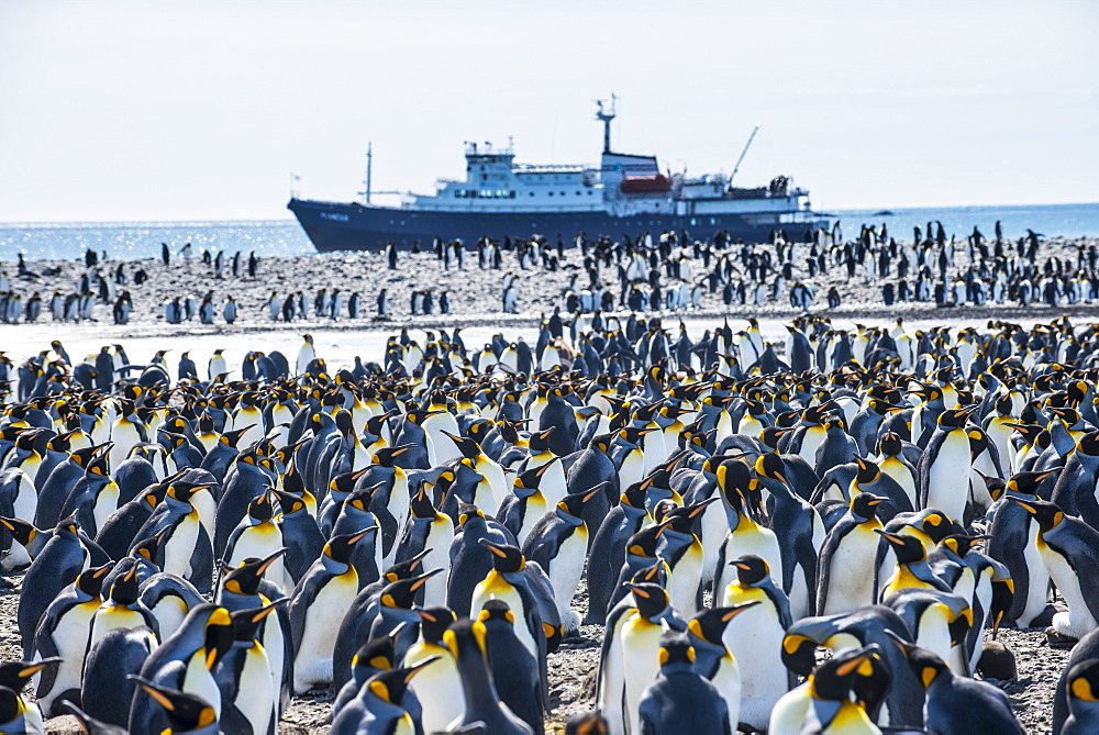 Giant king penguin (Aptenodytes patagonicus) colony and a cruise ship, Salisbury Plain, South Georgia, Antarctica, Polar Regions