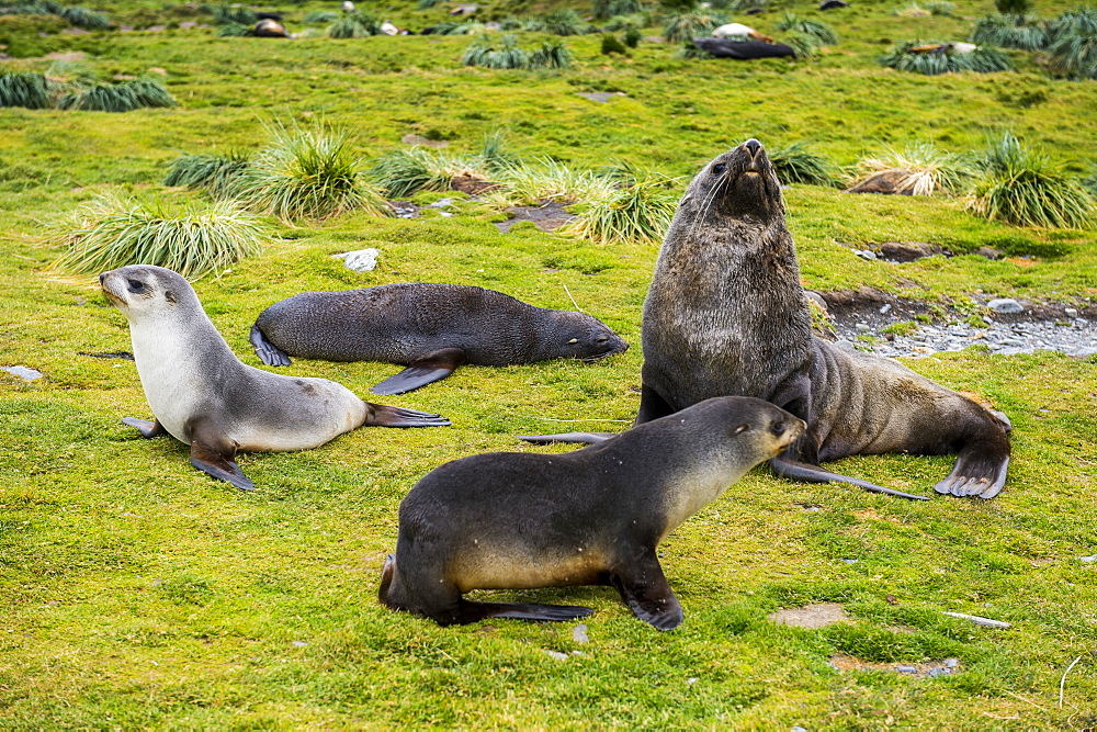 Antarctic fur seals (Arctocephalus gazella), Grytviken, South Georgia, Antarctica