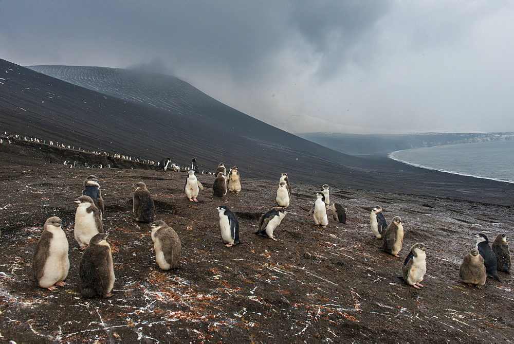 Chinstrap penguin colony (Pygoscelis antarctica), Saunders Island, South Sandwich Islands, Antarctica, Polar Regions