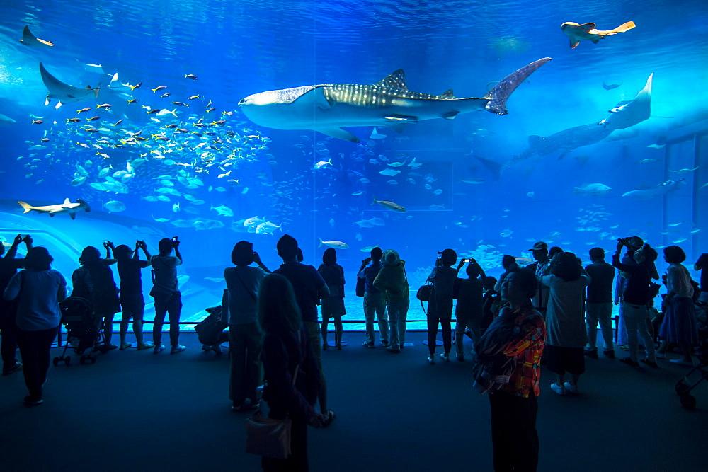 Whaleshark in the Churaumi Aquarium, Ocean Expo Park, Okinawa, Japan, Asia