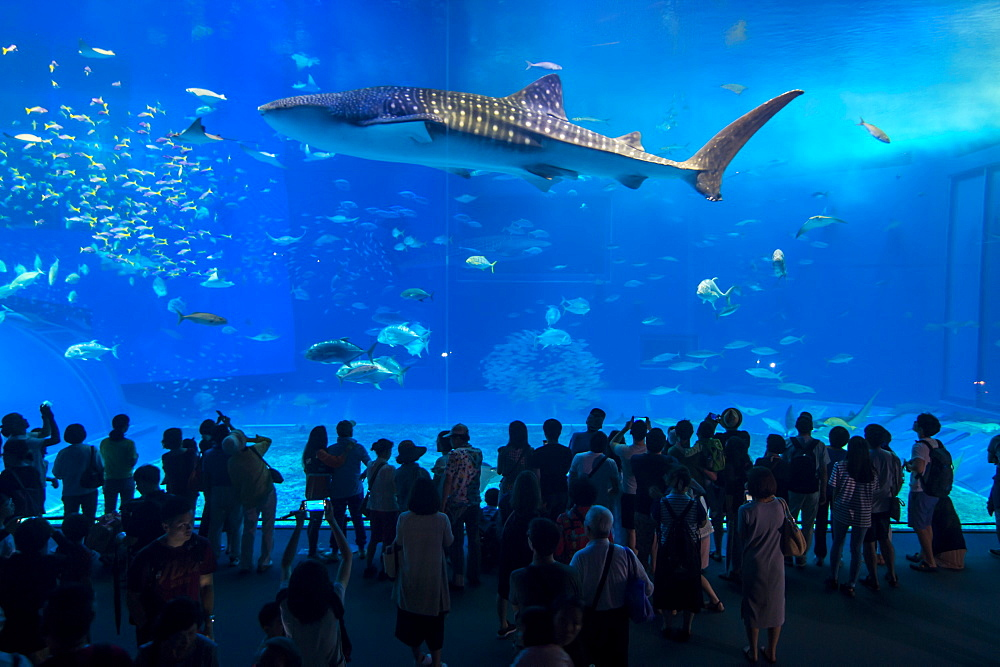 Whaleshark in the Churaumi Aquarium, Ocean Expo Park, Okinawa, Japan