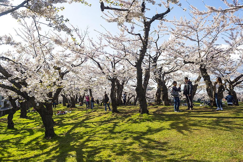 Cherry blossom in the Hakodate Park, Hakodate, Hokkaido, Japan, Asia