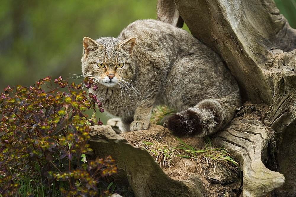 Scottish wildcat (wildcat) (Felis silvestris), Devon, England, United Kingdom, Europe